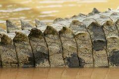 Dettaglio della coda del coccodrillo immagine stock