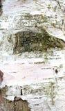Dettaglio della corteccia di albero Fotografia Stock Libera da Diritti