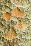 Dettaglio della corteccia di albero di Zelkova Fotografie Stock Libere da Diritti