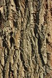 Dettaglio della corteccia di vecchio albero Immagini Stock
