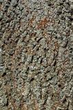 Dettaglio della corteccia di vecchio albero con il lichene Fotografia Stock