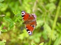 Dettaglio della farfalla Fotografia Stock