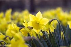 Dettaglio della fioritura del narciso Immagine Stock Libera da Diritti