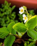 Dettaglio della fioritura della fragola Fiore piacevole della frutta di estate con le foglie verdi Macro della pianta nel vaso Fotografia Stock