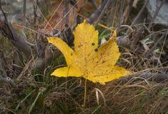 Dettaglio della foglia gialla caduta nella foresta immagini stock