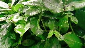 Dettaglio della foglia verde e bagnato quando piovono le gocce che cadono, lenti video d archivio