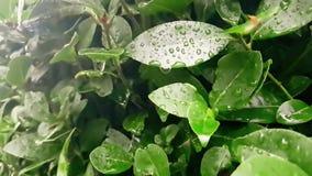 Dettaglio della foglia verde e bagnato quando piovono le gocce che cadono, lenti stock footage