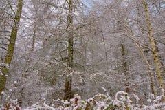 Dettaglio della foresta di inverno con i tronchi ed i rami di albero dell'abete ed arbusti coperti in neve fotografie stock libere da diritti