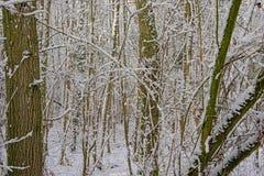 Dettaglio della foresta di inverno con i tronchi ed i rami di albero nudi coperti in neve fotografie stock libere da diritti