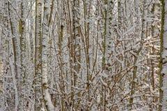 Dettaglio della foresta di inverno con i tronchi ed i rami di albero nudi coperti in neve immagini stock