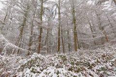 Dettaglio della foresta di inverno con i tronchi ed i rami di pino ed arbusti coperti in neve fotografie stock
