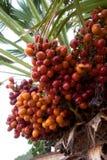 Dettaglio della frutta della palma fotografia stock