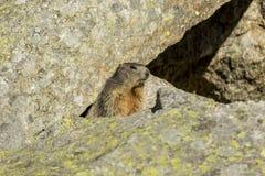 Dettaglio della marmotta Immagini Stock Libere da Diritti
