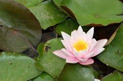 Dettaglio della ninfea rosa con le foglie verdi su un lago Fotografia Stock