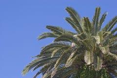 Dettaglio della palma davanti a cielo blu Immagine Stock