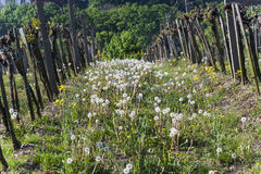 Dettaglio della pianta dell'uva alla vigna in Grinzing, un villaggio del vino dentro Immagine Stock Libera da Diritti