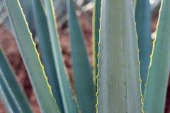 Dettaglio della pianta di agave tequilana Immagini Stock Libere da Diritti
