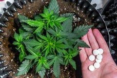 Dettaglio della pianta di marijuana della cannabis immagini stock
