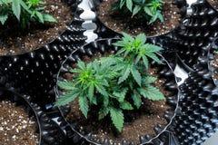 Dettaglio della pianta di marijuana della cannabis fotografie stock