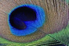 Dettaglio della piuma del pavone Fotografia Stock Libera da Diritti