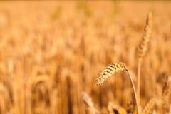 Dettaglio della punta del grano pronto ad essere raccolto con il giacimento di grano vago nel fondo Fotografia Stock