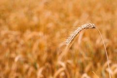 Dettaglio della punta del grano pronto ad essere raccolto con il giacimento di grano vago nel fondo Fotografia Stock Libera da Diritti