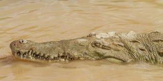 Dettaglio della testa dei coccodrilli fotografia stock