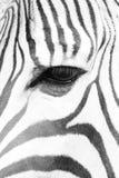 dettaglio della testa della zebra Fotografie Stock Libere da Diritti