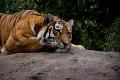 Dettaglio della tigre che si trova sulla pietra e profondamente che fissa Immagine Stock Libera da Diritti