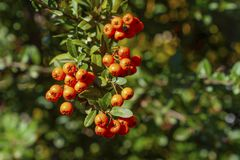 Dettaglio delle bacche della pianta ornamentale del color scarlatto del firethorn immagini stock