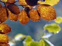 Dettaglio delle foglie di autunno dorate ed arancio immagini stock libere da diritti