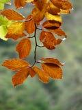 Dettaglio delle foglie di autunno dorate ed arancio fotografie stock