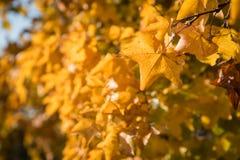 Dettaglio delle foglie di autunno gialle immagini stock