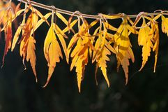 Dettaglio delle foglie di autunno gialle retroilluminate Fotografia Stock
