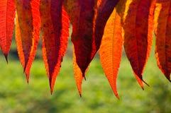 Dettaglio delle foglie di autunno rosse retroilluminate Immagine Stock Libera da Diritti