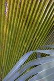Dettaglio delle foglie messicane della palma fotografia stock