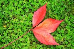 Dettaglio delle foglie variopinte di bello autunno Fotografia Stock