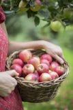 Dettaglio delle mele di raccolto della donna in frutteto Fotografia Stock