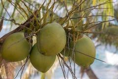 Dettaglio delle noci di cocco fresche che crescono su una palma Immagini Stock Libere da Diritti