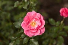Dettaglio delle rose di fioritura Fotografie Stock Libere da Diritti