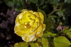 Dettaglio delle rose di fioritura Immagini Stock Libere da Diritti