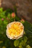 Dettaglio delle rose di fioritura Fotografia Stock Libera da Diritti