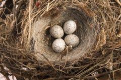 Dettaglio delle uova dell'uccello in nido Immagine Stock