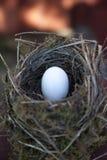 Dettaglio delle uova dell'uccello in nido Fotografie Stock