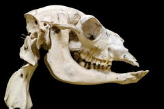 Dettaglio dello scheletro isolato con fondo nero Immagini Stock Libere da Diritti