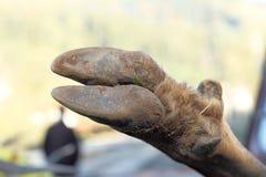 Dettaglio dello zoccolo dei cervi Fotografia Stock Libera da Diritti