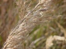 Dettaglio di alta erba asciutta su un prato Immagini Stock