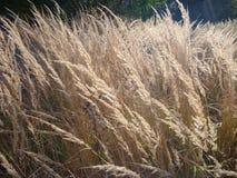 Dettaglio di alta erba asciutta su un prato Fotografia Stock