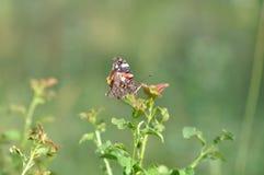 Dettaglio di ammiraglio rosso Butterfly Fotografia Stock