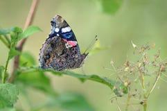 Dettaglio di ammiraglio rosso Butterfly Fotografie Stock